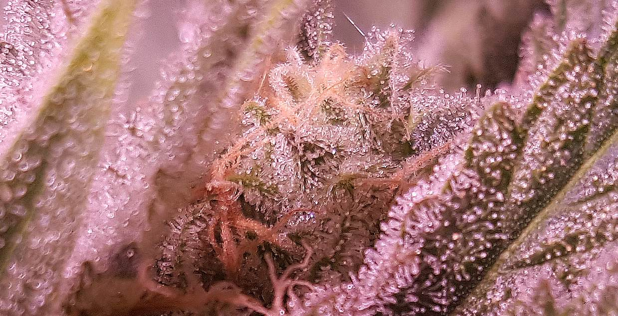 Milky vs Amber Trichomes - Cannabisgourmet net