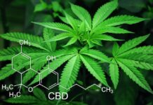 Hemp plants with CBD chemical compound