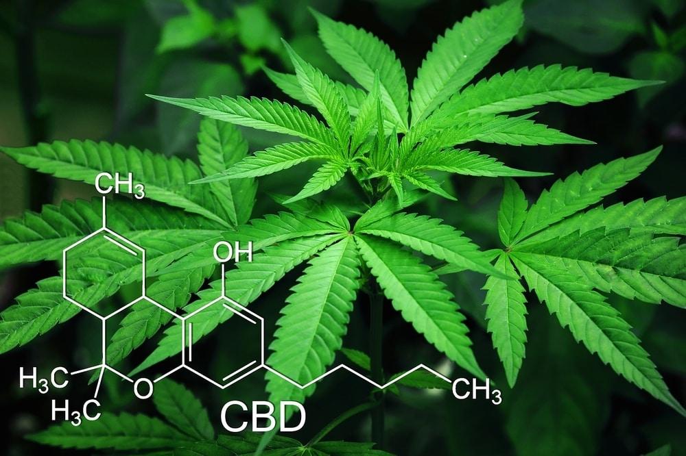 Hemp plants with CBD chemical compound